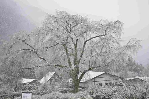 枝垂桜雪_00001