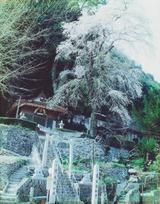 下田伏神社 しだれ桜