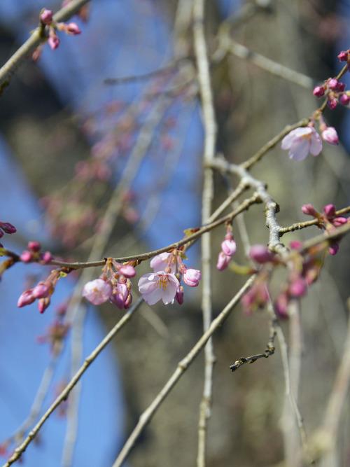 竹下桜4月4日2017