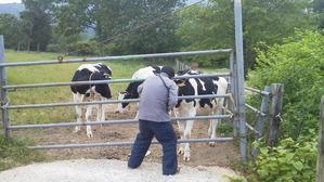 砂谷牧場の牛③