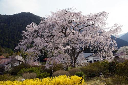 竹下桜[133]